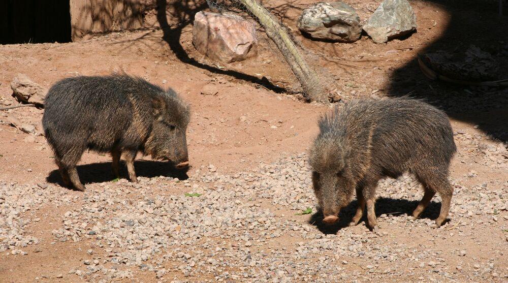 Parachoerus wagneri ou taguá é uma espécie de mamífero artiodáctilo da família Tayassuidae. Hoje sua população é estimada em cerca de 3.000 indivíduos