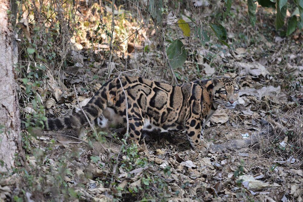 Em fevereiro, pesquisadores de Taiwan asseguraram que, ao patrulhar a área sudeste da ilha, duas vezes notaram o leopardo nebuloso de Formosa – uma espécie considerada extinta desde 2013