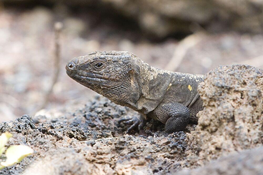 Lagarto gigante de El Hierro é uma espécie de réptil rara que habita a ilha com o mesmo nome – El Hierro – uma das Ilhas Canárias