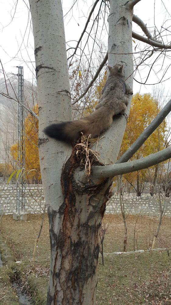 Esquilo-voador é uma espécie extremamente rara que habita as florestas coníferas de grande altitude associada com rochas e cavernas