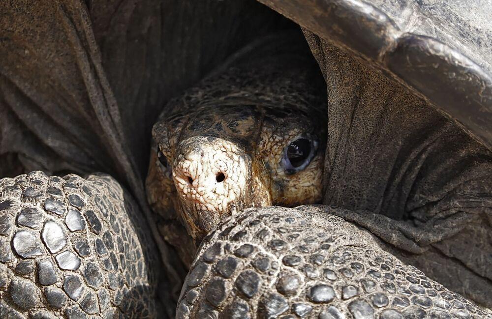Em meados de fevereiro, em uma das ilhas de Galápagos, foi descoberta a tartaruga Chelonoidis phantasticus, considerada por mais de um século extinta