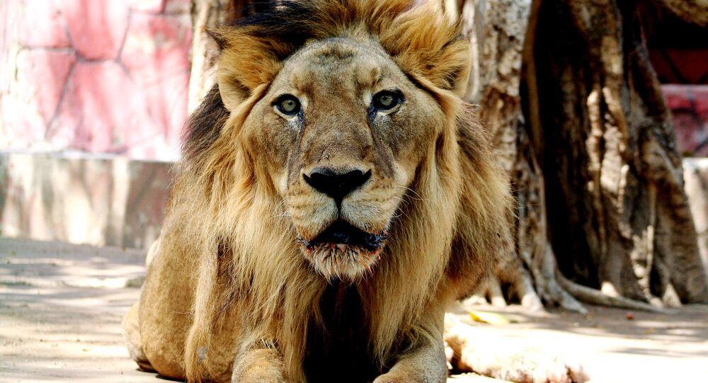 Leão africano no Jardim Zoológico Kamala Nehru, em Ahmedabad, na Índia, 17 de abril de 2007 (imagem referencial)