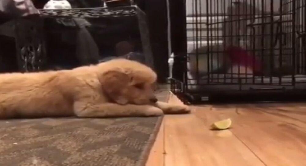 Filhote de golden retriever experimentando limão