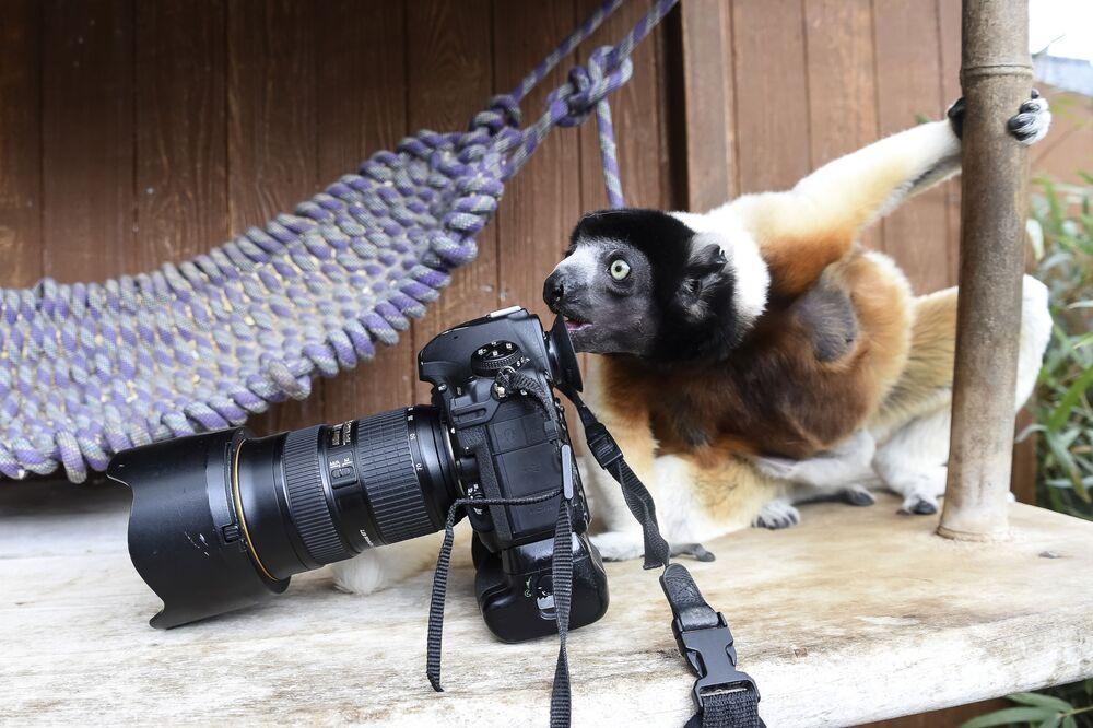 Lêmure (Propithecus coronatus) observa câmera de fotógrafo no Zoológico de Mulhouse, na França