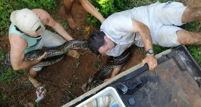 Píton-africana de 4 metros resgatada no território do Zimbali Coastal Resort, na África do Sul