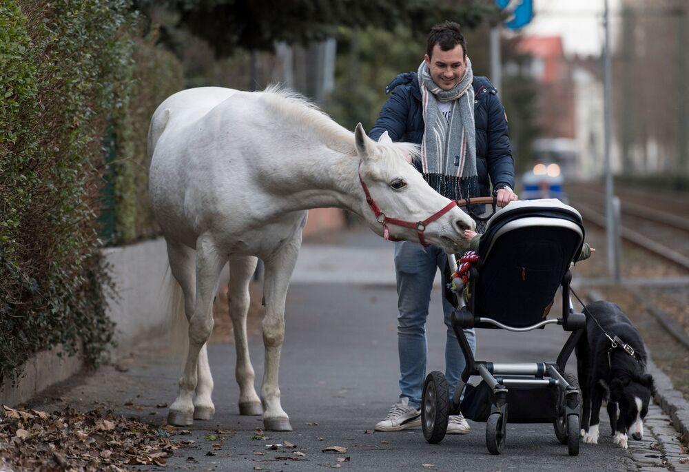 Cavalo Jenny examina com interesse uma criança no carrinho de bebé em Frankfurt, Alemanha