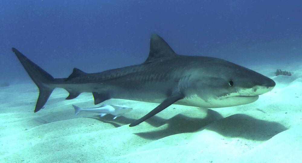 Tubarão-tigre (imagem ilustrativa)