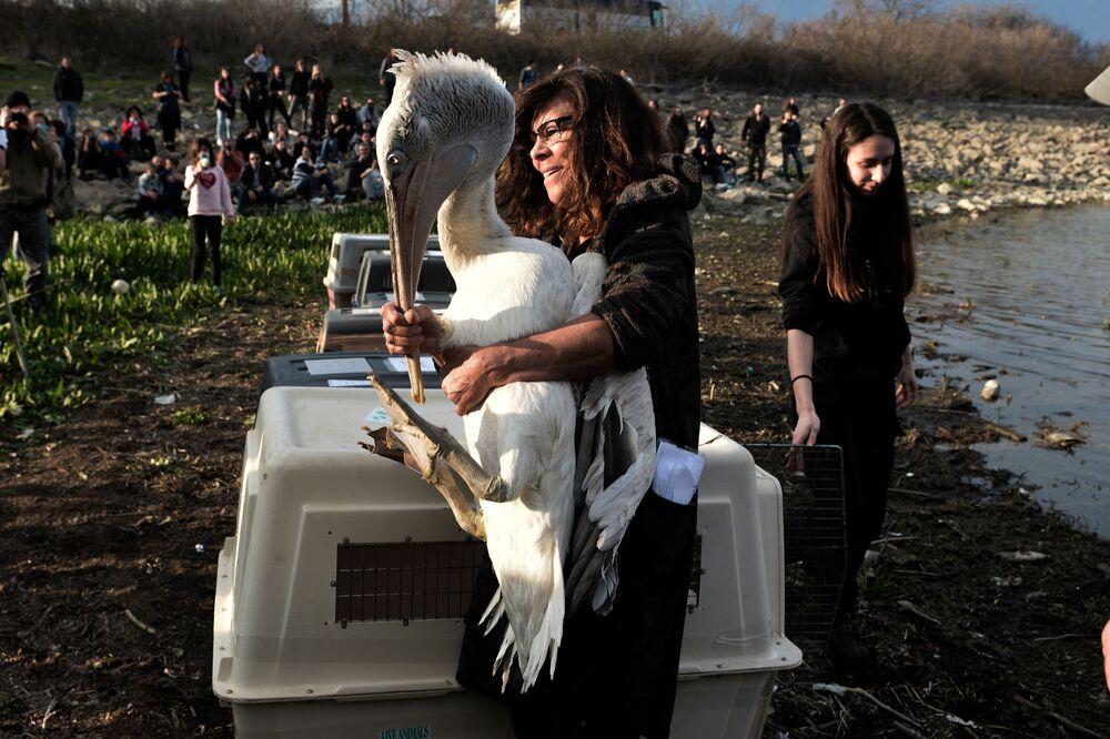 Funcionária da agência responsável pela gestão dos parques nacionais do lago Kerkini é fotografada com pelicano-crespo nas suas mãos, norte da Grécia