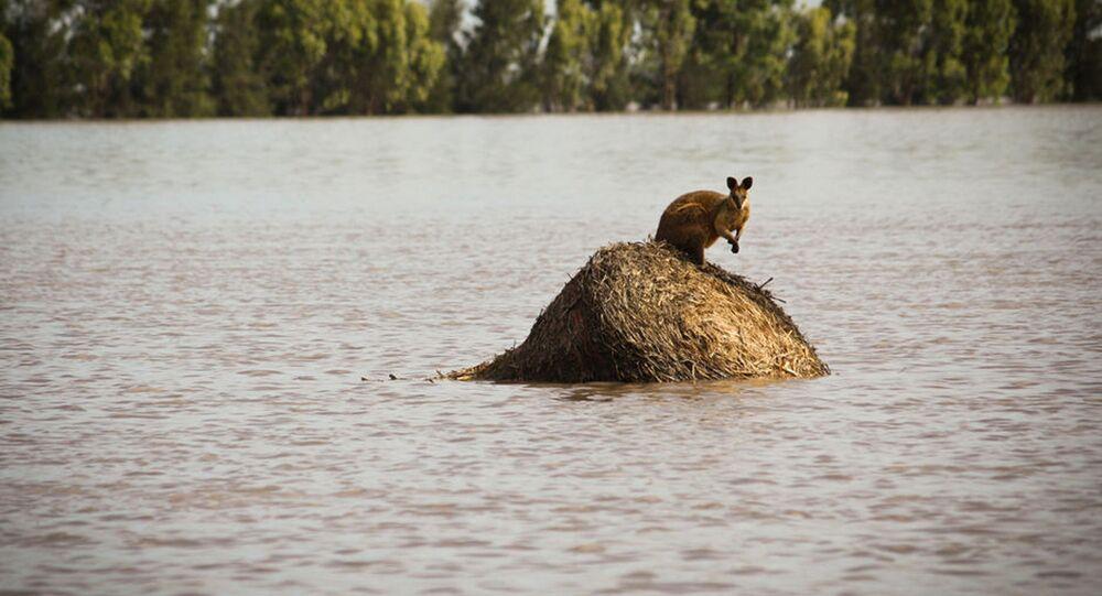 Canguru em monte de feno cercado por água devido às enchente em Queensland (imagem referencial)