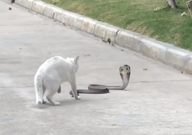 Gatinho enfrenta cobra-rei em plena rua tailandesa