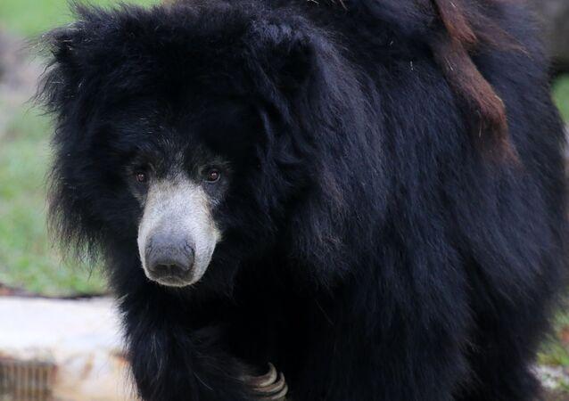 Urso-negro asiático