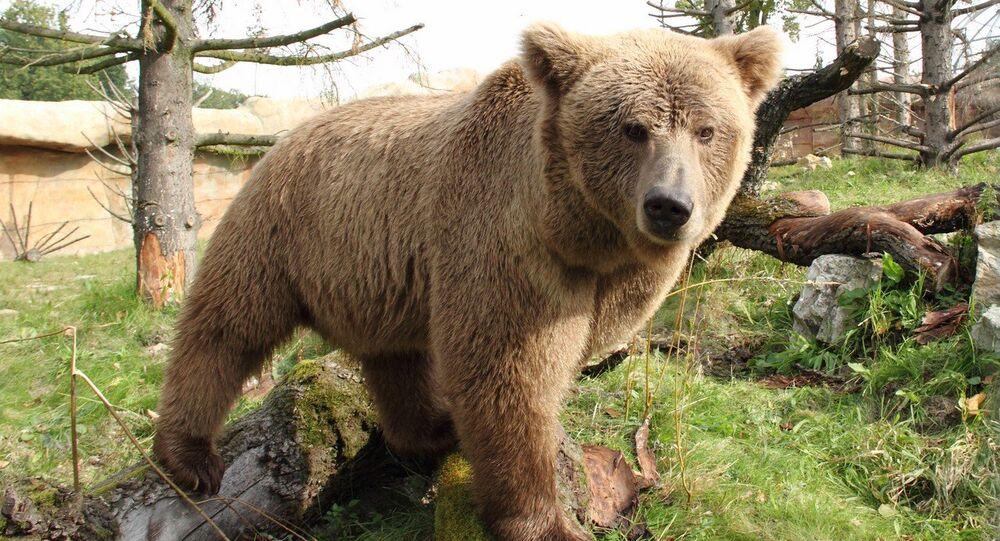 Urso marrom do Himalaia