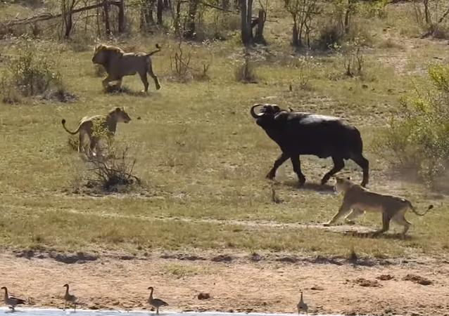 Búfalo sobrevive à batalha épica contra leões e crocodilos