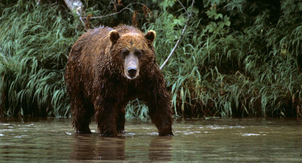 Urso no Extremo Oriente russo