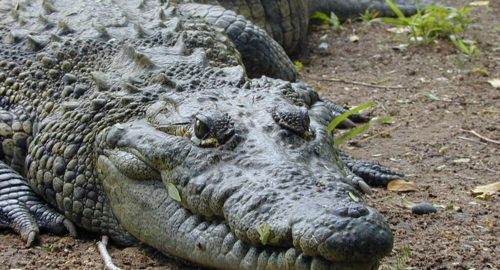 Crocodilo, imagem referencial