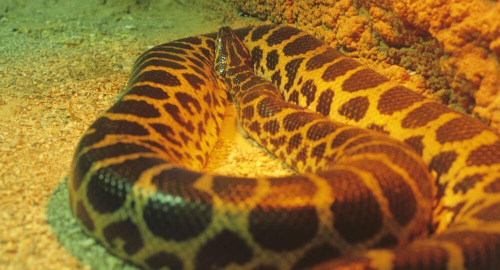 Anaconda paraguaia (imagem referencial)