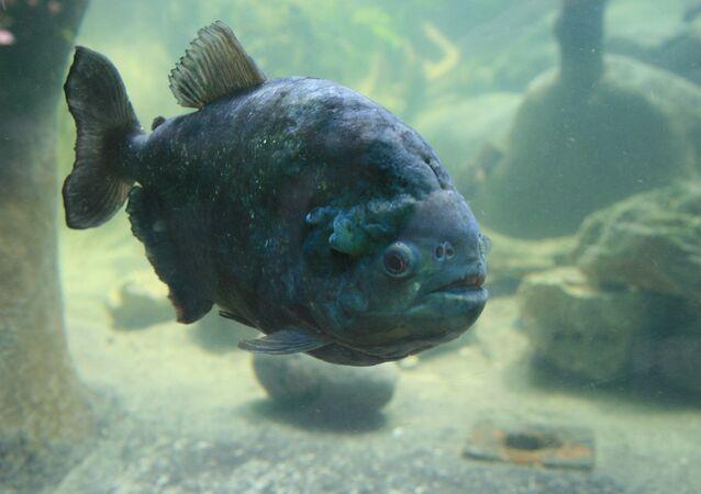 Piranha (imagem referencial)