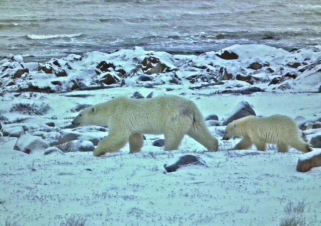 Ursa polar com seu filhote