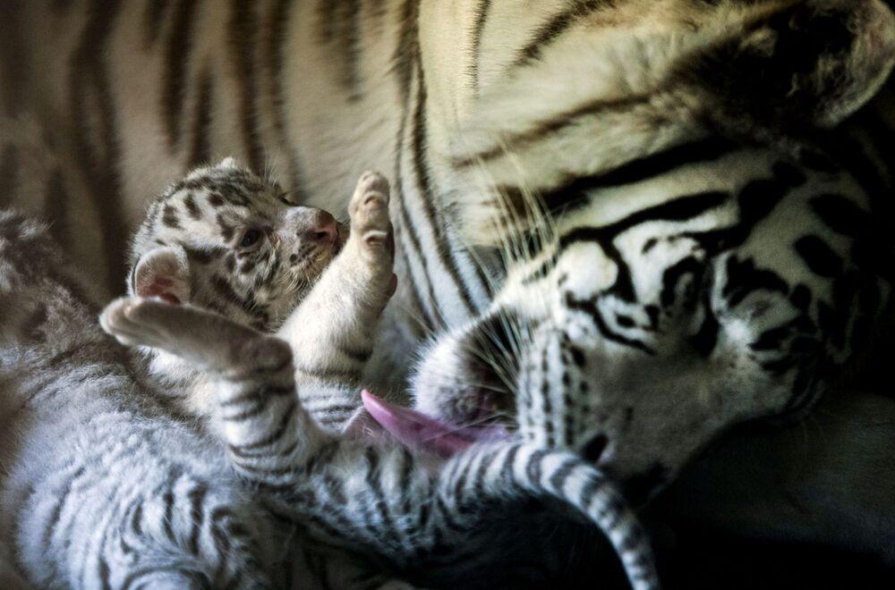 Tigresa branca fotografada junto com filhote recém-nascido no jardim zoológico La Pastora, México