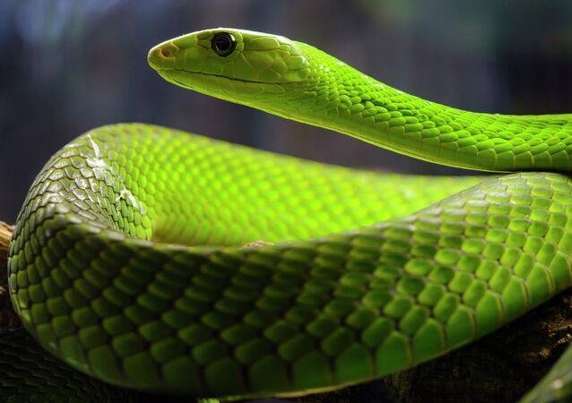 Mamba-verde-oriental (imagem referencial)