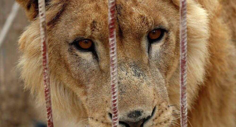 Leão abandonado é visto em jaula no zoológico de Muntazah al-Nour, Iraque, em 28 de março de 2017