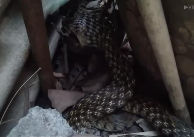 Cobra desfruta seu almoço devorando uma rã