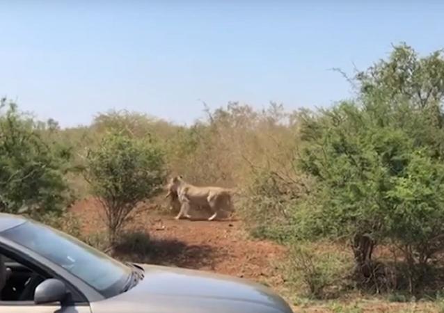 Roubo relâmpago: leoa conquista refeição em 10 segundos