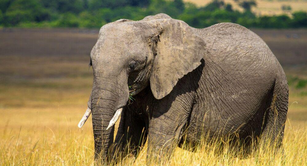 Elefante na reserva nacional Masai Mara, no Quênia (imagem referencial)