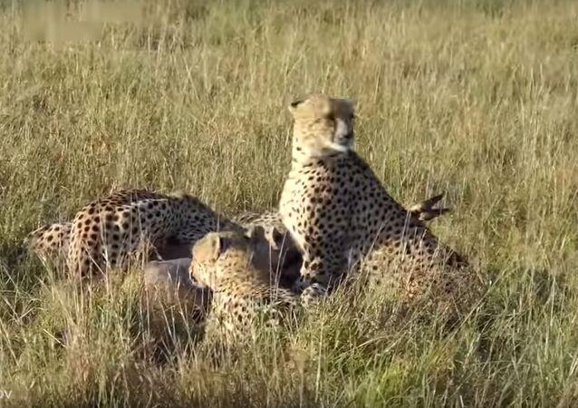 Ainda vivo, antílope é saboreado por guepardos e depois por hienas