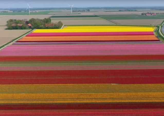 Drone captura lindas imagens de campos de tulipas na Holanda