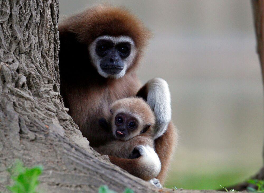 Um gibão-de-mãos-brancas com seu filhote no Jardim Zoológico de Escópia