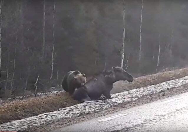 Urso ataca violentamente alce, que não tem forças para resistir
