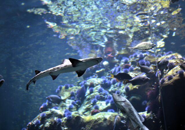 Tubarão na Califórnia