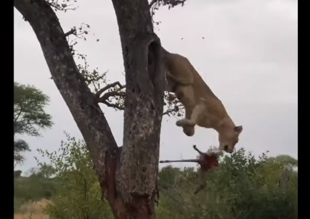 Leoas escalam árvore para roubar presa de leopardo