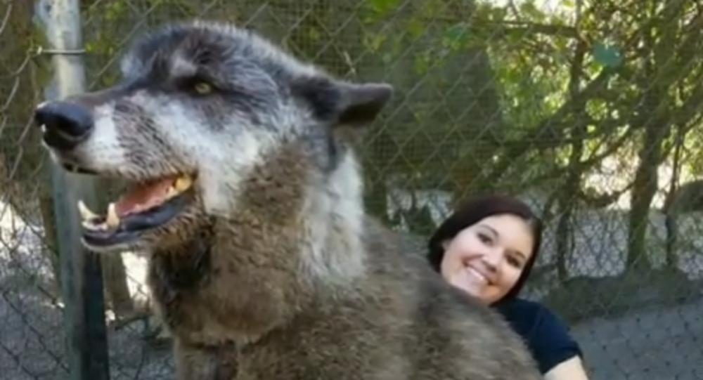 Yuki, cão-lobo resgatado pelo Santuário Shy Wolf, em Naples, na Flórida