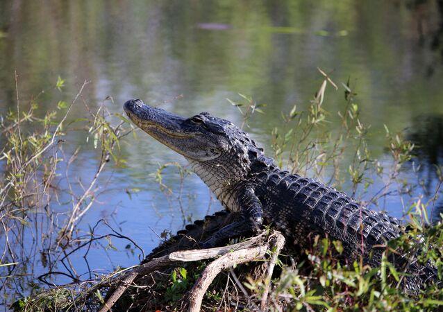 Jacaré na Flórida