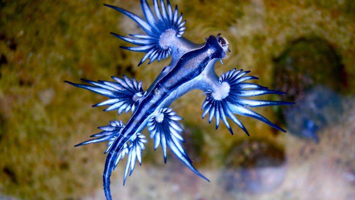 Extremamente raro: 'dragão azul' marinho é encontrado na costa do ...