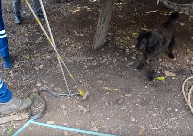 Cachorro perde paciência e decide resgatar cobra