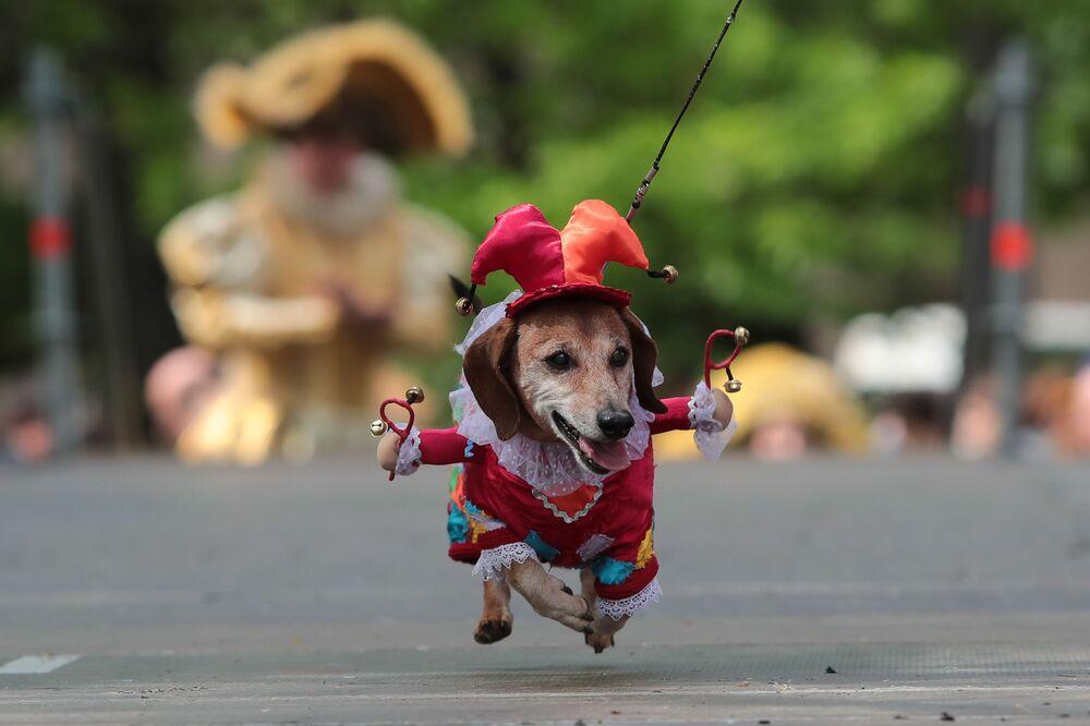 Cachorro toma parte em desfile Parada de Dachshund em São Petersburgo