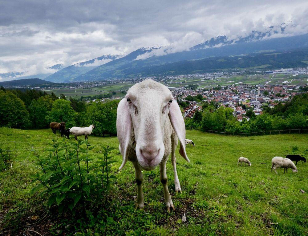 Ovelha fotografada em campo na margem do rio perto da cidade de Innsbruck, Áustria