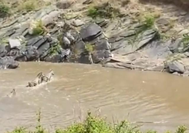 Zebra é surpreendida por crocodilos sorrateiros