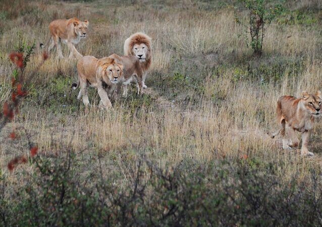 Leões (imagem de arquivo)
