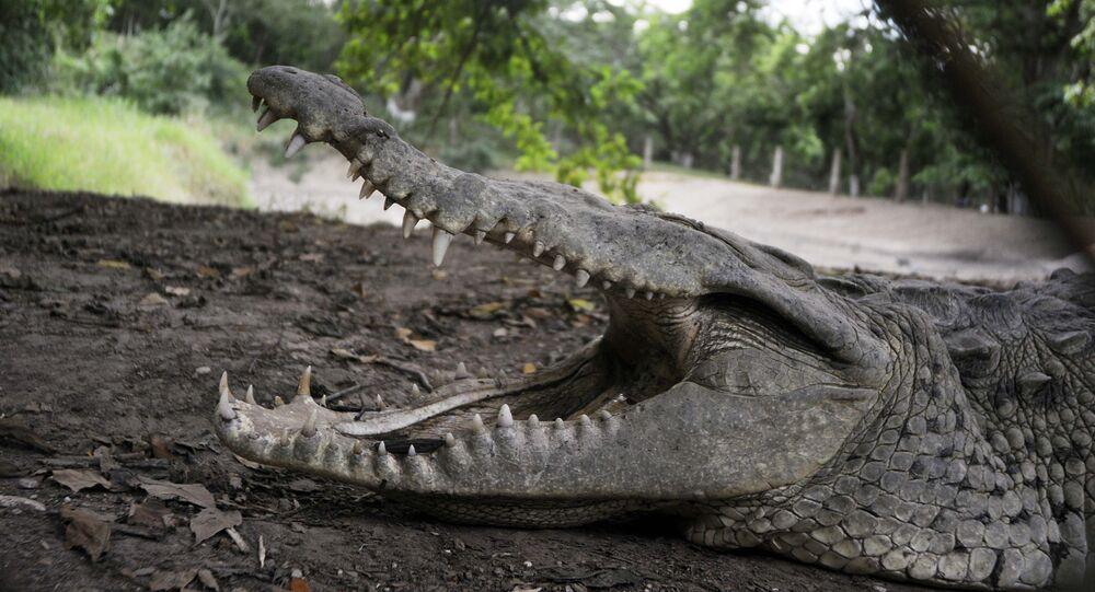 Crocodilo numa fazenda em San Manuel Cortes, norte de Honduras