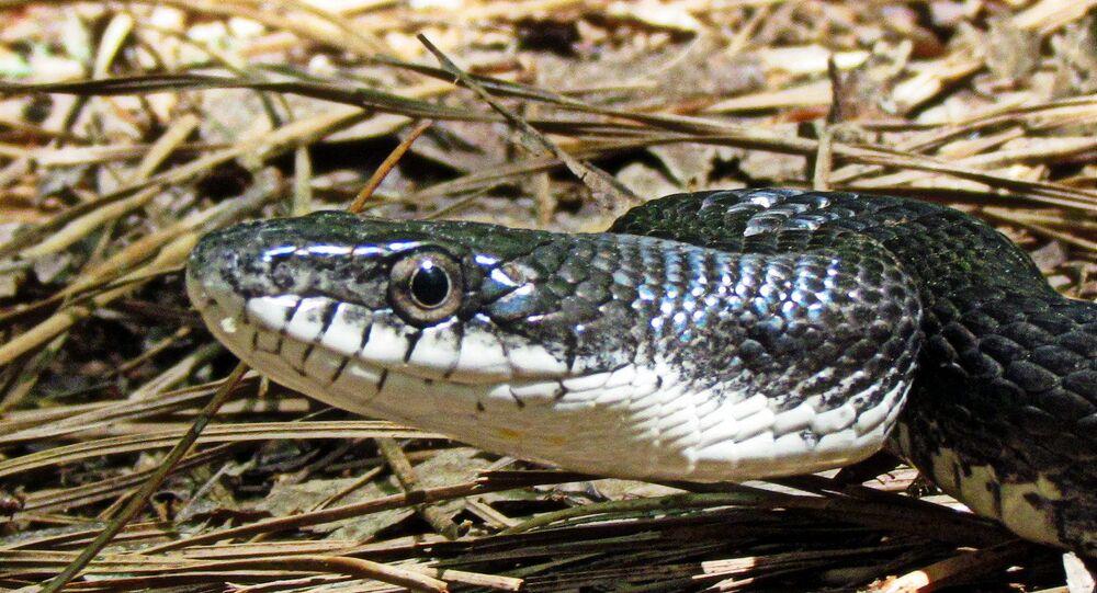 Cobra negra do sul