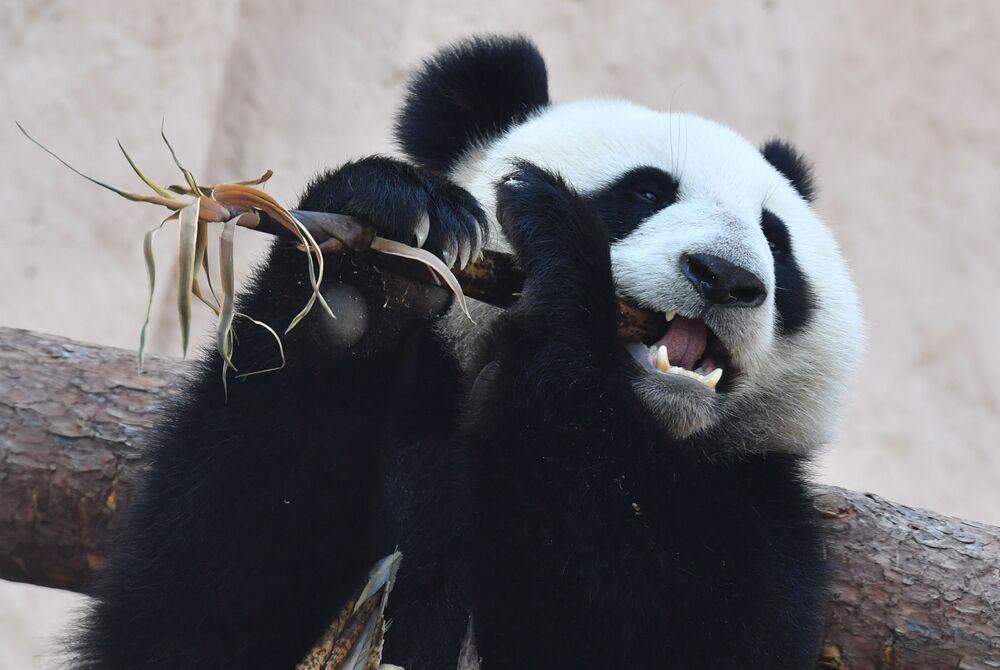 Panda que a China ofereceu ao Jardim Zoológico de Moscou, Rússia