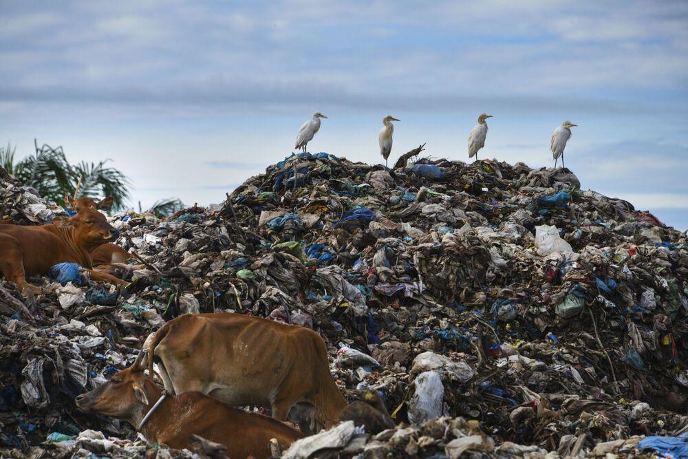 Garças e vacas em depósito de lixo na cidade indonésia de Meulaboh, 8 de junho de 2019