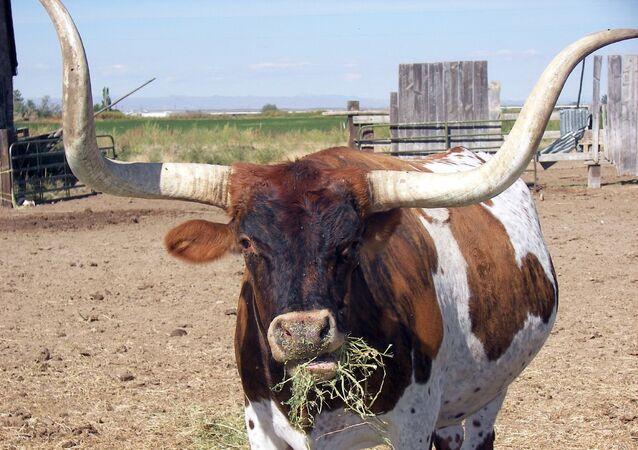 Longhorn Texas (imagem referencial)