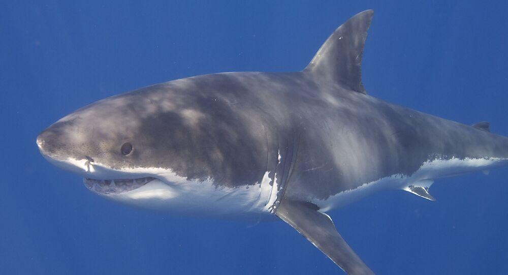 Tubarão-branco (foto de arquivo)
