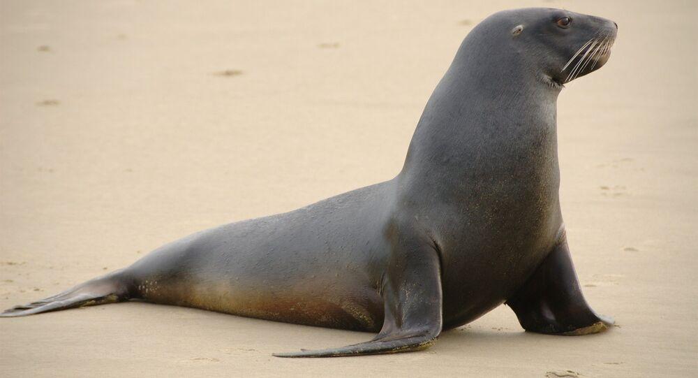 Leão-marinho (imagem referencial)