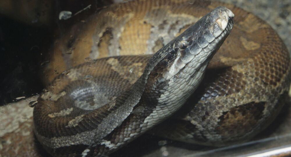 Píton (imagem referencial)